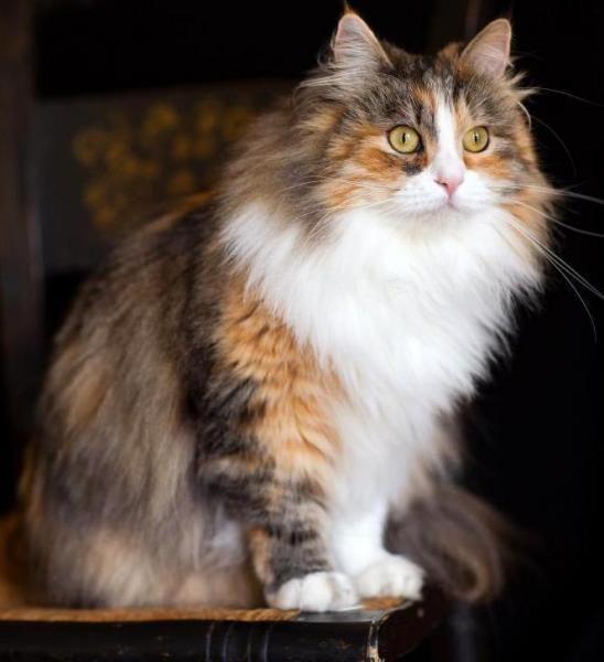 Fabuleux Les 25 meilleures idées de la catégorie les éleveurs de chats  GS97