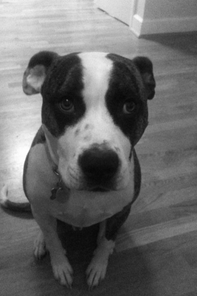 Pit bull boxer mix-Looks identical to my Tucker!