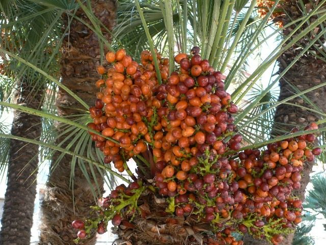 pohon buah Kurma