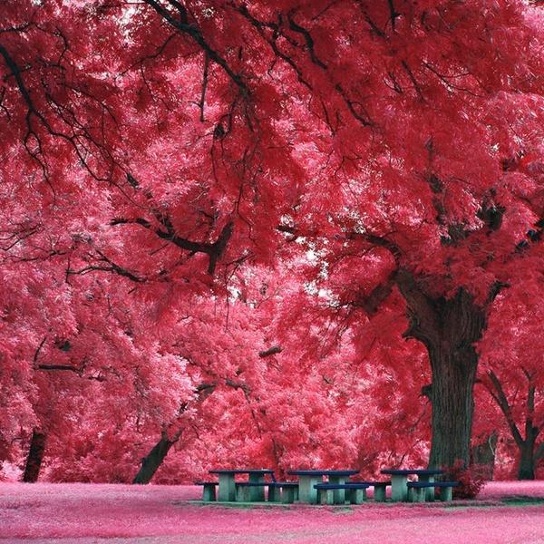 Japanese Maple Tree Lugares Bonitos Natureza Incrivel Fotos Da Natureza