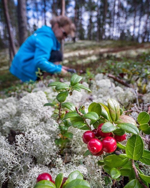 #naturetravel #hiking #nordicwalking #nationalpark #geopark #rokua #luontoonfi #visitrokua #lichen #silence #wellbeing #rokuahealthspa #finland