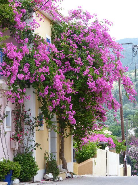 Assos Village , Kefalonia Island. I have a picture of this very same plant and hill ahaha!