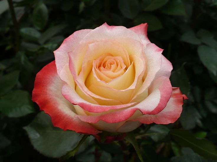 Cabaret is a gorgeous bi color rose. The edges of the petals are slightly coral with a creamy peach center.