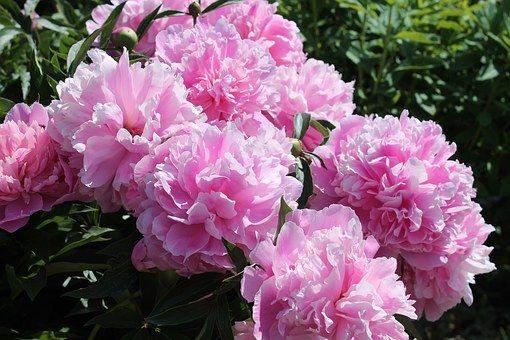 Peoner, Flower, Have, Garden Plant