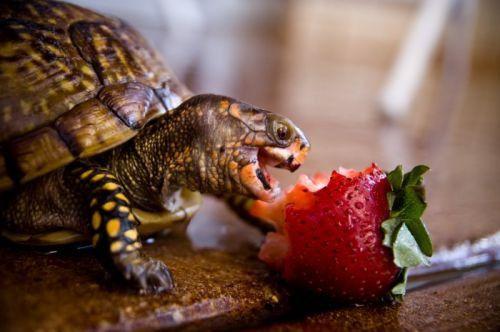 turtles: Animal Pics, Tortoise, Detox Food, Pet, Turtles Eating, Strawberries, Growing Tomatoes, Nom Nom, Cutest Animal