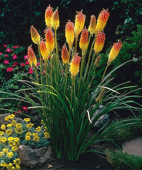 Torch Lilies exude dramatic flair courtesy of their spiky flowers and brilliant hues. -  Grows to 36'' to 48'' H -  Perennial -  Bloom period: early to midsummer -  Full sun -  Hardiness zones: 5-9