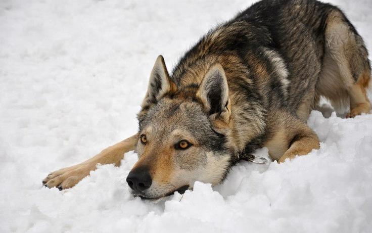 Czechoslovakian Wolfdog, a domesticated canine. I suffer from huge 'want'