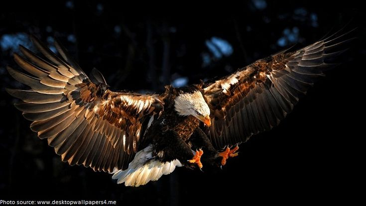 Interesting facts about bald eagles