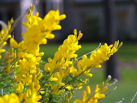 Genista Cytisus X Spachiana Sweet Broom Full Sun