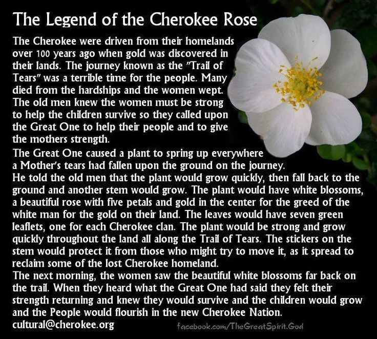 The Legend of the Cherokee Rose .....