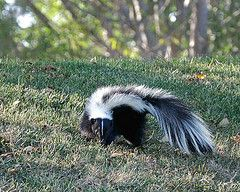 Cat or Dog Sprayed by a Skunk: How to Remove Skunk Odour #cats #dogs #skunk #skunksmell #removeskunkodor #skunkodorremedy (Article from www.MetaphoricalPlatypus.com; Skunk Photo by Donjd2, Flickr)