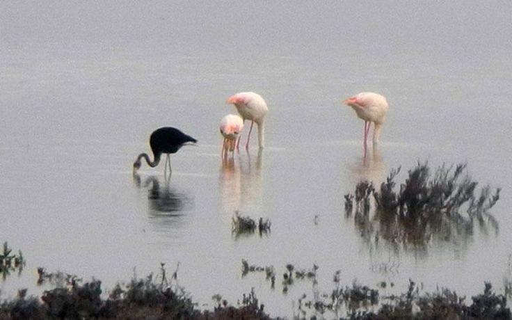 Σπάνιο μαύρο φλαμίνγκο βρέθηκε στην Κύπρο - «Ελάχιστοι έχουν καταφέρει να το δουν» λένε οι ειδικοί [εικόνα] | iefimerida.gr