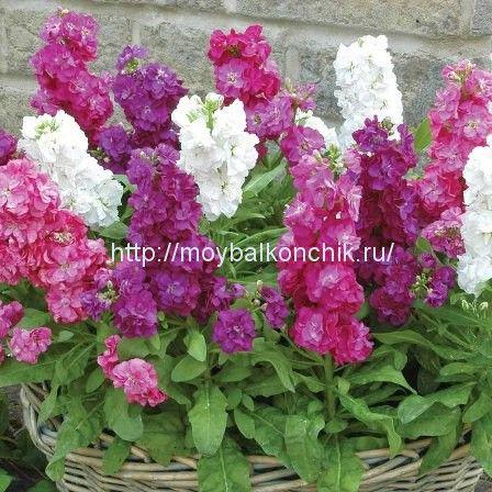 <p>При посадкецветов на террасе или балконе стоит отметитьцветыс интенсивным, приятным ароматом.Аромат растений улучшает наше настроение, успокаивает, а также оказывает благотворное влияние на наше самочувствие. Запах цветов на балконе можно обеспечить с ранней весны до поздней осени.Нужно просто высадить растения цветущие в разные периоды и получить прекрасный аромат на протяжении всего …</p>