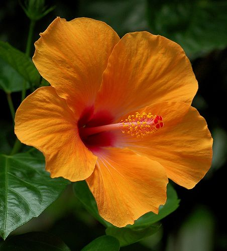 17 Best ideas about Hibiscus on Pinterest | Tropical, Hawai surf ...