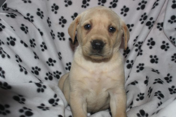 Yellow Lab puppy - this cute pup is posted at http://www.network34.com
