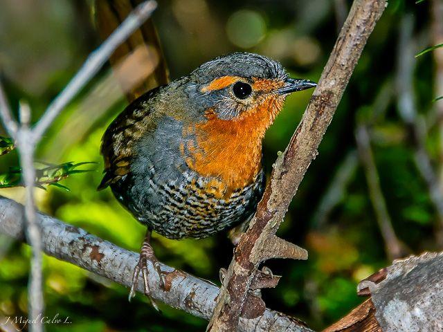 Chucao Tapaculo (Scelorchilus rubecula) en Futaleufu | from Foto Naturaleza http://www.fotonaturaleza.cl/details.php?image_id=26792