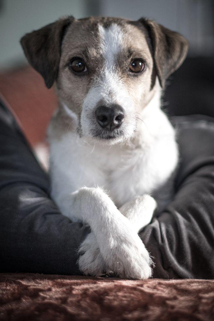 Arthur - the cooool Jack Russel Terrier Dog