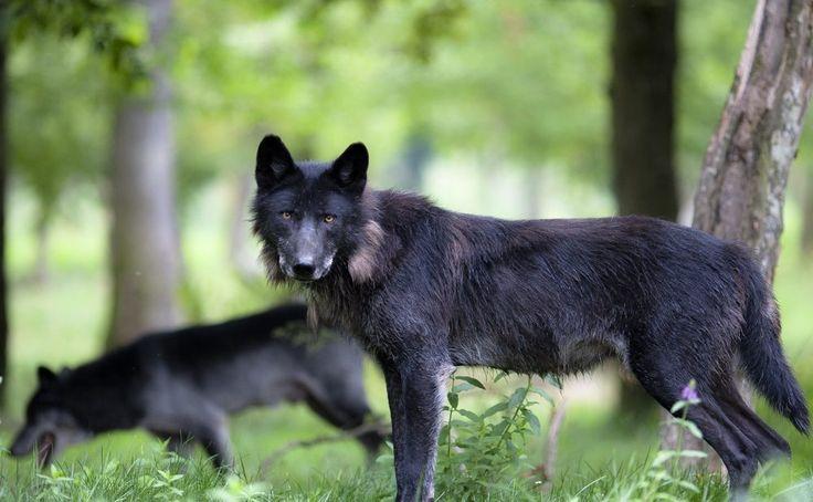 Lobos negros salvajes