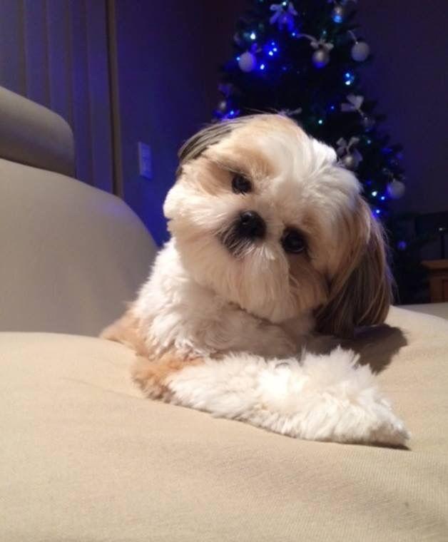 Shih Tzu head tilt ==> visit http://www.amazingdogtales.com/gifts-for-shih-tzu-lovers/