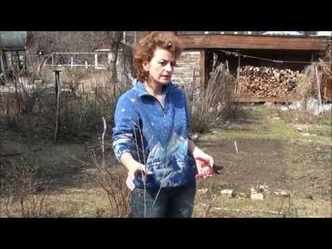 Видео облепиха как отличить мужское растение от женского