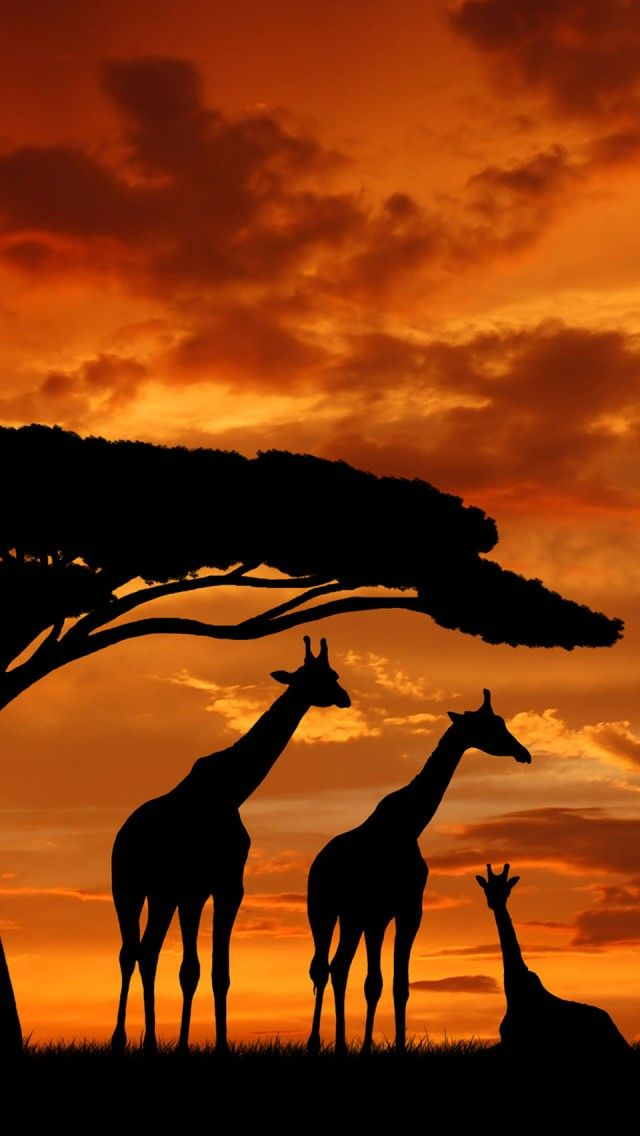 Giraffe silhouettes and sunset I could see this as a tattoo.