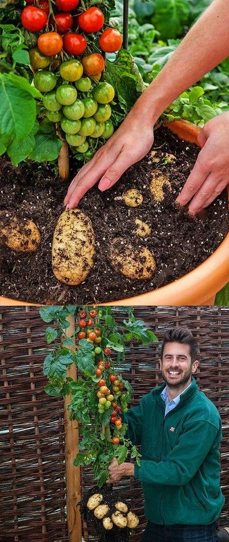 interesting grafting technique which combines tomato and potato plants
