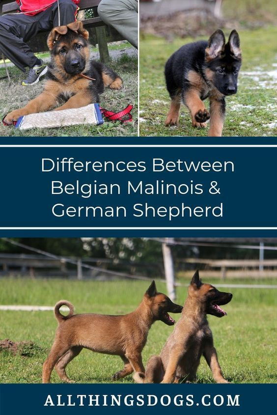 While The German Shepherd And The Belgian Malinois Are Incredibly Different Breeds Many Get Confused Between These Two In 2020 Belgian Malinois Malinois Malinois Dog