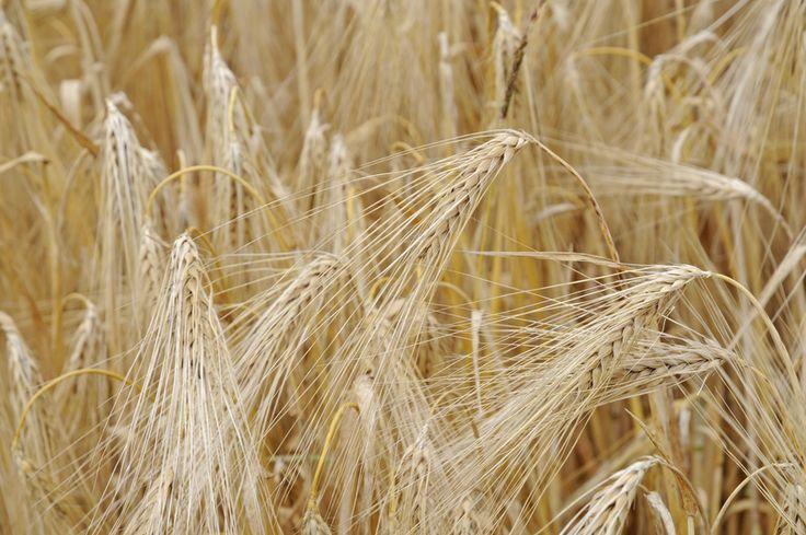 Unter den vielen verschiedenen Getreidesorten stellt die Gerste im Grunde eine etwas weniger bekannte und genutzte Getreideart dar.