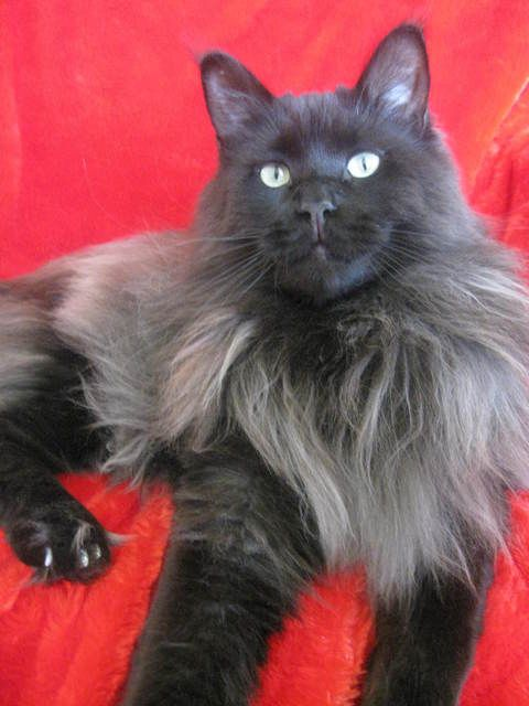 Pictures of Maine Coon Cat Breed