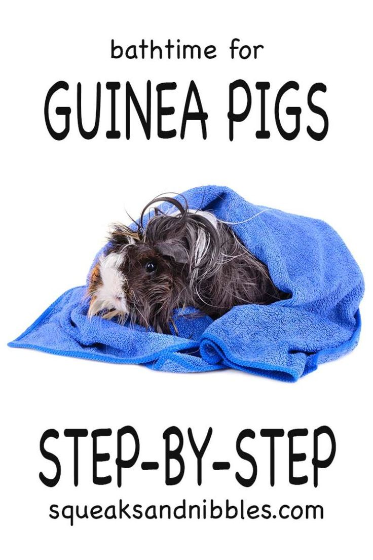 Can you give guinea pigs a bath top tips and step by