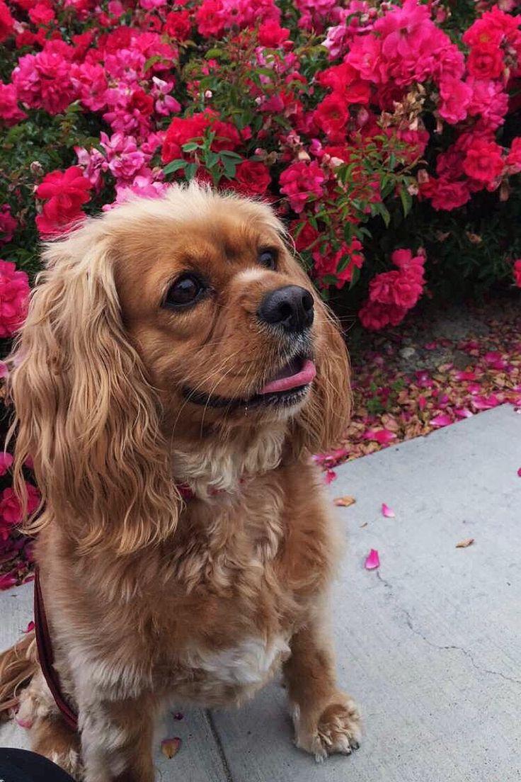 COCKALIER #dog #puppy #puppies #flowers #adorable #aesthetic #cavalier #kingcharles #love