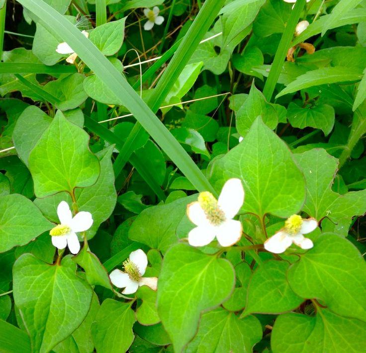 herbal medicine DOKUDAMI