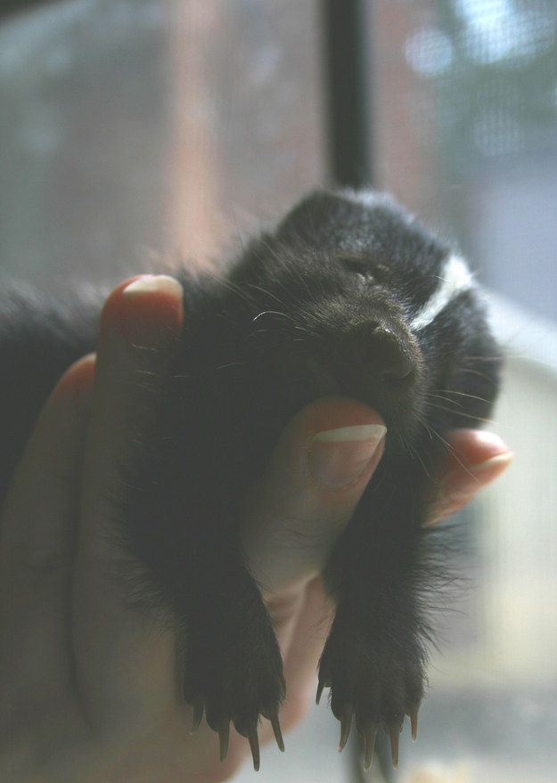 This baby skunk who proves that skunks are totally underestimated in the cute department. | 31 Pictures Of Baby Animals To Remind You The World Is Wonderful