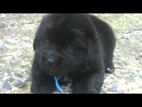 【超かわいい犬(Dogs)♪】ヤバイwww!萌え〜キュン死する!ニューファンドランドの赤ちゃん(Cute puppy /귀여운 강아지 / chiot mignon) - YouTube