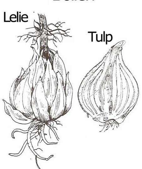 Bekende bolvoorbeelden zijn: -met rokken- ui, tulp en hyacint, narcis, sneeuwklokje, hyacinten, blauwe druifjes -met schubben zoals kievitsbloem (Fritillaria) en lelies (Lilium).