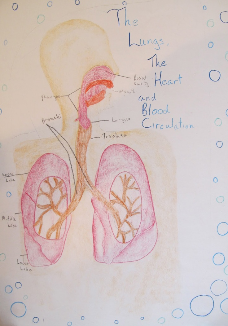 199 Best Human Anatomy Images On Pinterest Seventh Grade The