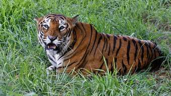 A Bengal tiger, pictured in India