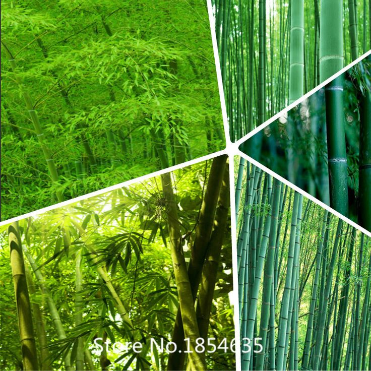 Garden Plant Black Bamboo Seeds, Professional Pack, 50 Seeds / Pack, Super Black Stem Ornamental tree seeds Bonsai Seed