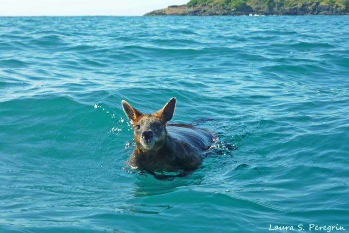 Swampy the wallaby swimming a kilometre from shore