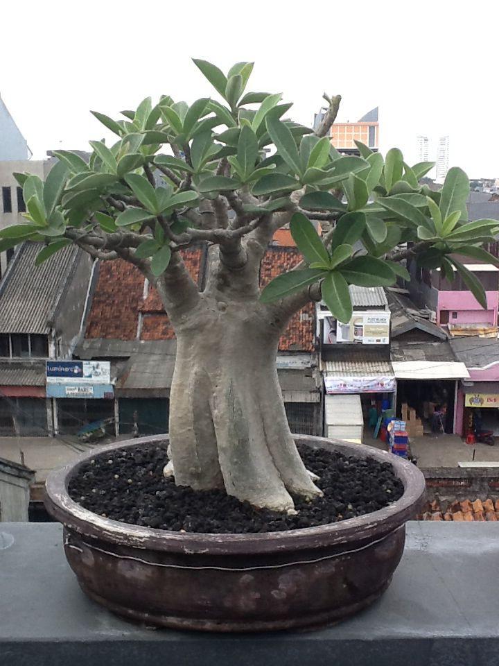Adenium arabicum from indonesia