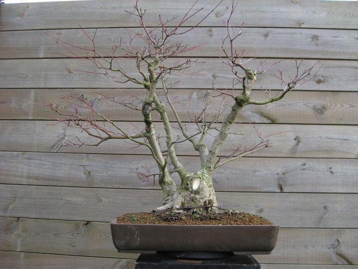 15 - Acer palmatum (01/2016)