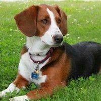 Bagle Hound    beagle+basset hound