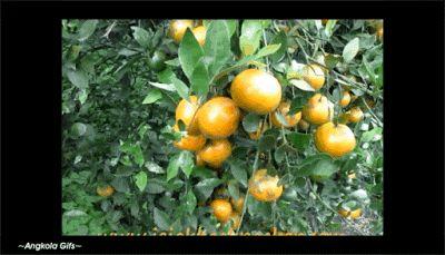 Macam Status Angkola  Facebook ( Paposmaroha ): Jeruk dan Seluk Beluknya