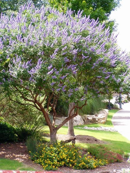 I have this tree in my front yard...i absolutely love it..just have to trim the bottom branches out as it grows because it will grow down like a bush if you dont. Texas Lilac (Vitex). They are hardy, drought tolerant, and the butterflies & bees love them. by ollie