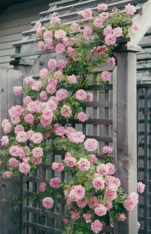 John Davis - Heirloom Roses-A rambler that can be trained to climb.