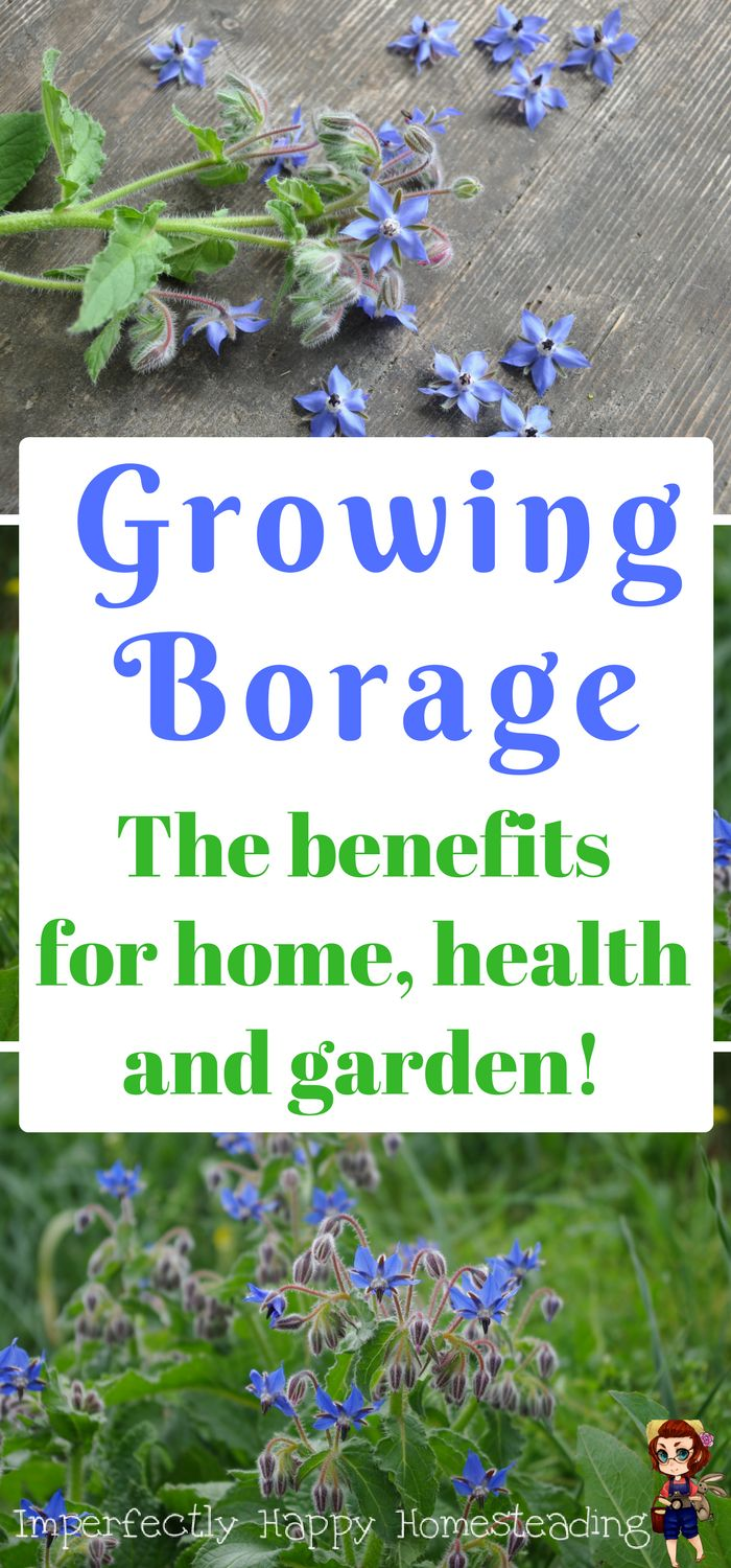 How to grow borage and use it to benefit your home, health and garden.