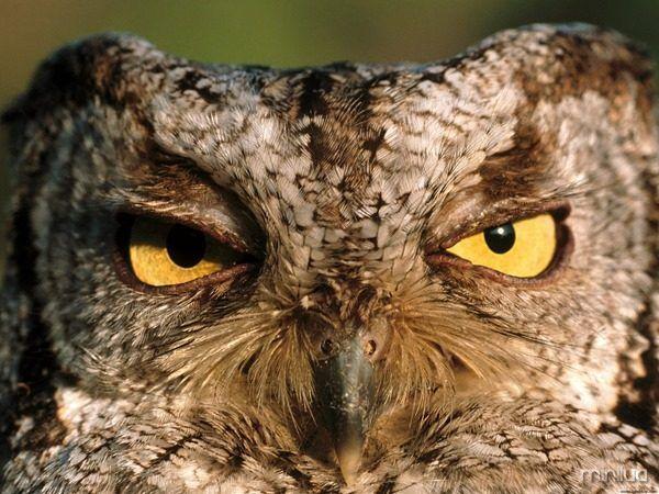 As corujas são alguns dos animais mais legais do mundo, com seus olhos grandes, sua cabeça que vira para todos os lados e...