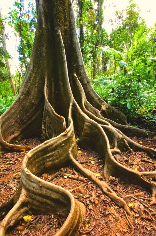 Buttress roots... a common sight in the rainforest in the Tropical North Queensland region