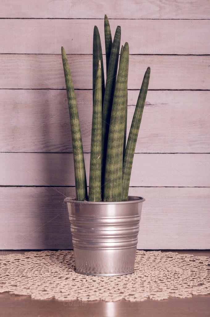 Check out Sansevieria cylindrica green plant by Irantzu Arbaizagoitia on Creative Market