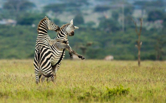 Territorial zebra fighting #Segera #Kenya #safari